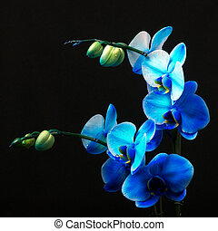 Blue orchid - Royal family in studio light