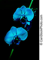 Orchid - Blue Orchid