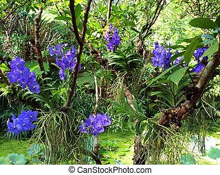Blue Orchids light up a tropical garden.