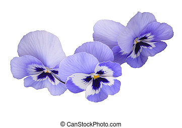 Blue pansies on white isolated background