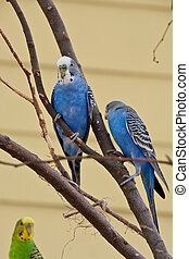 Blue Parakeets in a tree