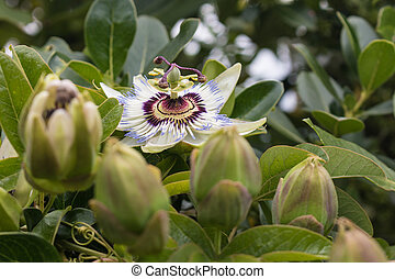 blue passion flower with buds
