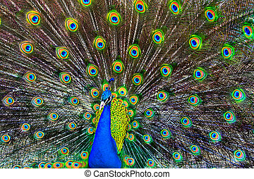 Blue Peacock - A blue peacock with colorful open feathers...