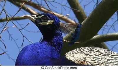 Blue peacock perched on branch - low angle - close up crested head
