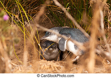 Blue Penguins, Eudyptula minor, at hidden burrow - Little...