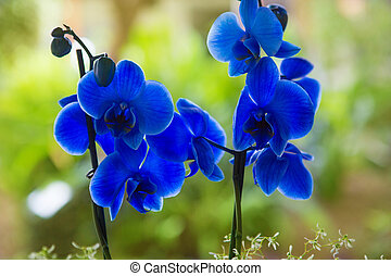 Blue phalaenopsis orchid pretty flowers