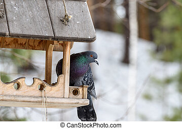 Blue pigeon on the feeder