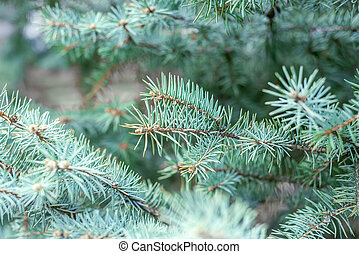 blue pine branch closeup. winter or christmas background