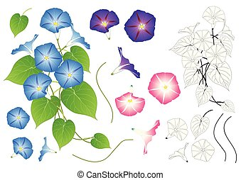 Blue Pink and Purple Morning Glory Outline. isolated on...