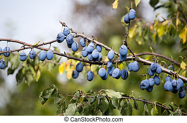blue plum fruit on a tree in the nature