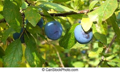 blue plums or prunes hanging in garden of summer, sunlight,...
