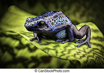 blue poison dart frog amazon rain forest
