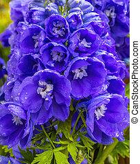 Blue Purple Delphinium Larkspur Blossom Blooming Macro