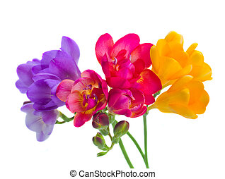 blue, red and yellow freesia flowers