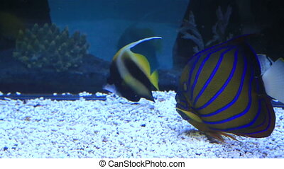 Blue ring angelfish of the family Pomacanthidae