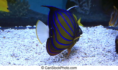 Blue ring angelfish of the family Pomacanthidae. Beautifully...