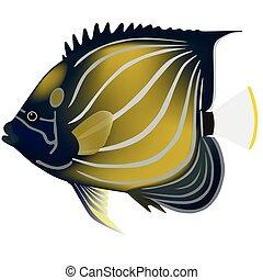 blue-ringed angelfish; angelfishes; isolated on white;...