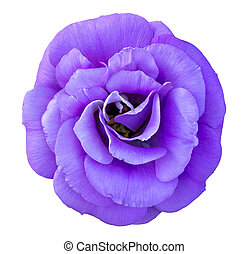 Blue rose flower isolated on white with clipping path