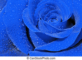 Blue rose - Close-up of a blue rose with droplets.