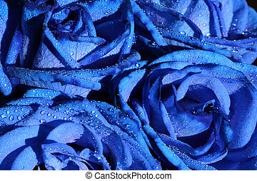blue roses flower with drops background