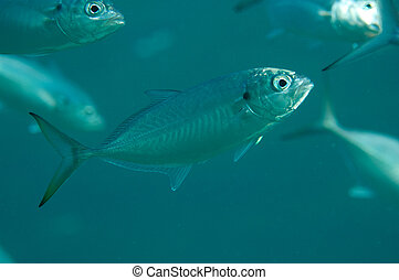 Blue runner fish swimming in a school