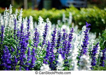 Blue Salvia flower