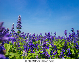 Blue Salvia plant - Beautiful salvia growing in a cottage...