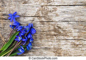 Blue scilla flowers (Scilla siberica) or siberian squill on wooden background
