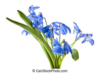 blue scilla isolated on white background close-up
