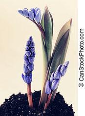 blue scilla, tinted