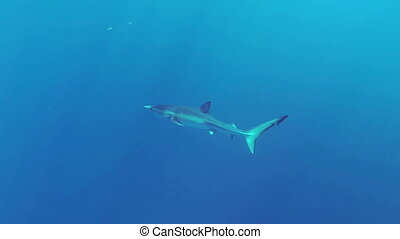 Blue shark - Beautiful full HD footage of a blue shark...