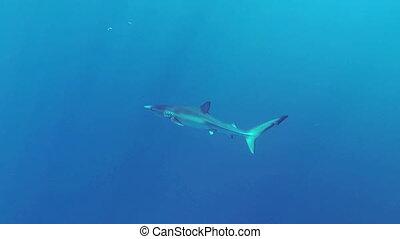 Blue shark - Beautiful full HD footage of a blue shark...