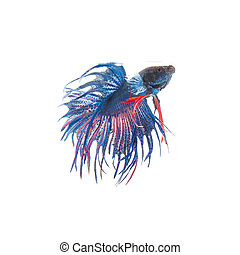 Blue siamese fighting fish, betta splendens isolated on white background