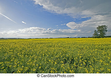 Blue skies & canola - A picture of a canola field with a ...