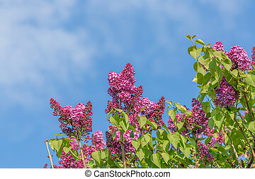 Blue sky and blooming lilac branch in springtime. A branch lilac blossoms. Beautiful spring flowers in the orchard.