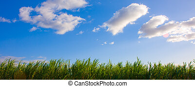 Blue Sky and Sugar Cane - Blue sky with some clouds over a...