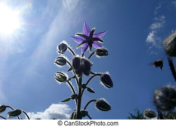 blue sky-blooms
