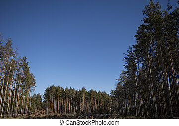 blue sky in a pine forest on a sunny day