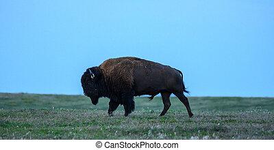 Blue Sky Over Profile of Bison