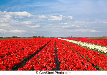 blue sky over red tulip field