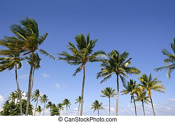 Blue sky palm trees in Florida tropical summer