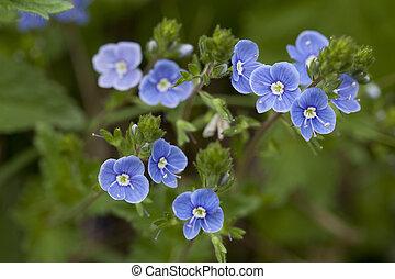 Veronica chamaedrys - blue small flower (Veronica chamaedrys...