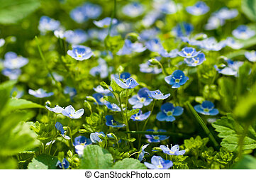 Blue small flowers against a green grass