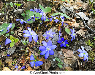 Blue small flowers in forest on last year's dry grass.