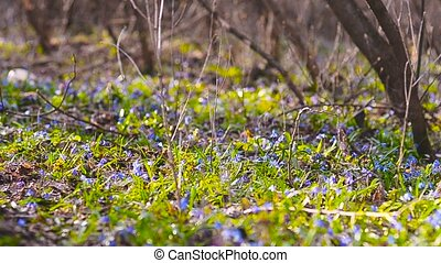 Blue snowdrops growing in the forest - Beautiful meadow with...