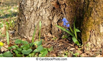 Blue snowdrops in the forest  under a tree.