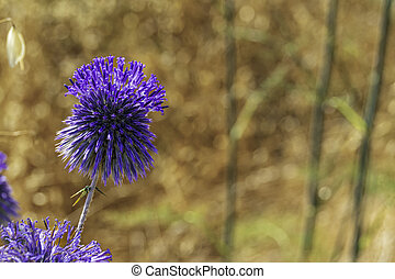 Blue southern globe thistle, Echinops flower on a blurred background of yellow dry grass