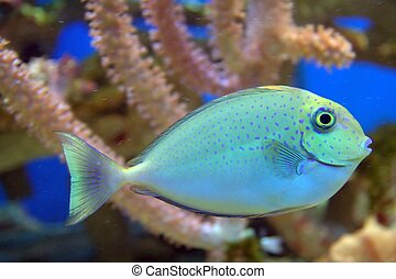 Blue Spotted Fish - Blue Spotted Tropical Fish swimming.