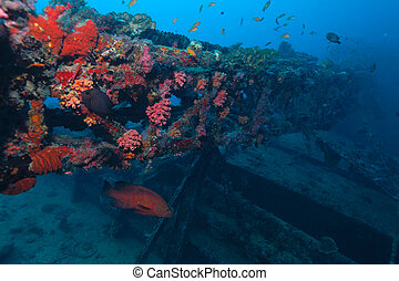blue-spotted, grouper
