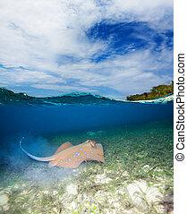 Blue spotted stingray - half underwater shoot